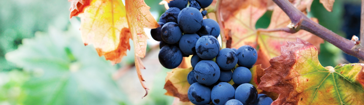 Autumn Grapes - Banner